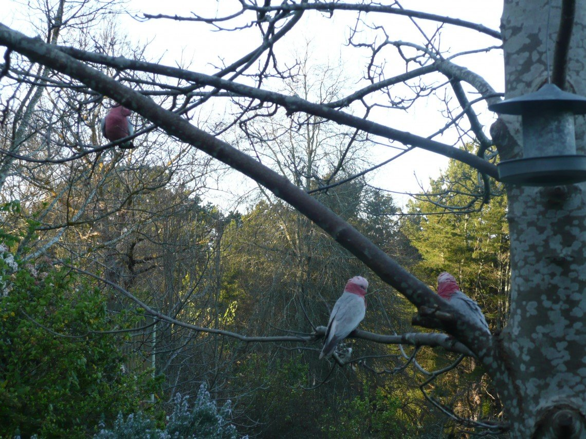 Galahs in the Adelaide Hills