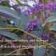 Australian native Hardenbergia